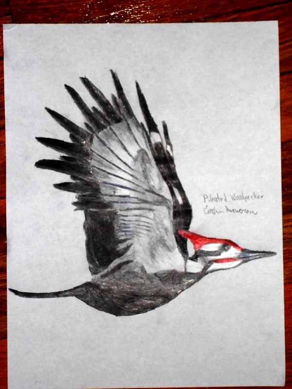 Flying Pileated Woodpecker